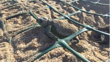 AI technology helps protect sea turtle nests from feral pigs in north Queensland